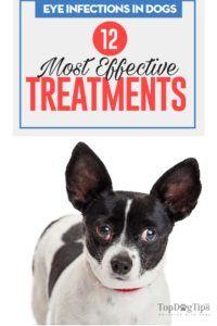12 Traitements de prévention des infections oculaires chez le chien
