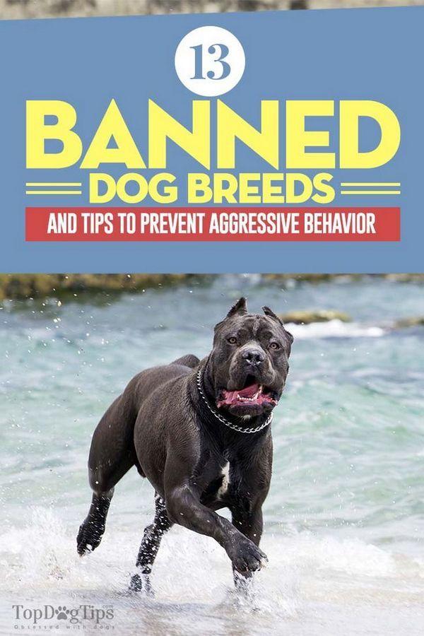 13 Races de chiens interdits (et conseils pour éviter les comportements agressifs)