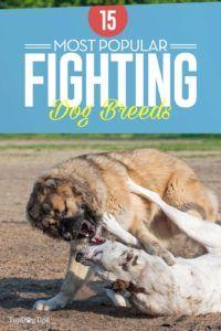15 Races de chiens de combat les plus populaires