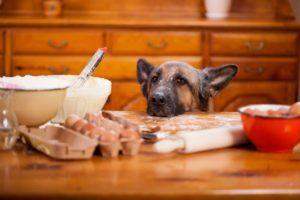 chiens diabétiques