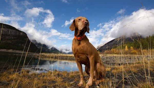 La plupart des races de chiens de voyage - Races actives