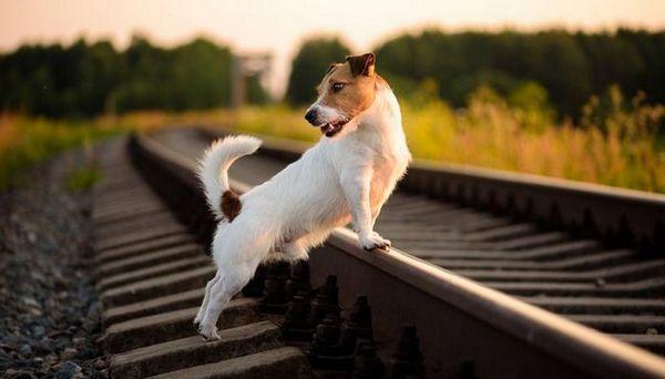 La plupart des races de chiens de voyage - races courtes