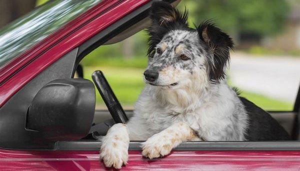 La plupart des races de chiens de voyage - Grand