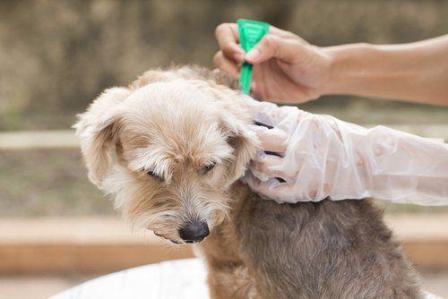 Comparaison des meilleurs traitements contre les puces et les tiques pour chiens