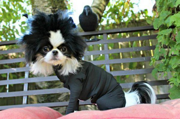 5 Façons de transformer votre défenseur en un costume d`halloween pour chien