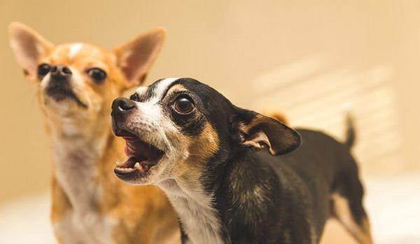 7 Races de chiens surprenantes qui sont dangereuses pour les enfants