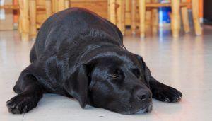 Plancher en stratifié pour chiens