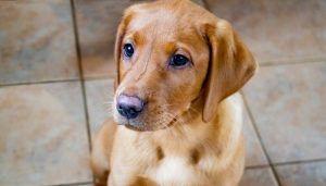 Carrelage en céramique ou en porcelaine pour chiens