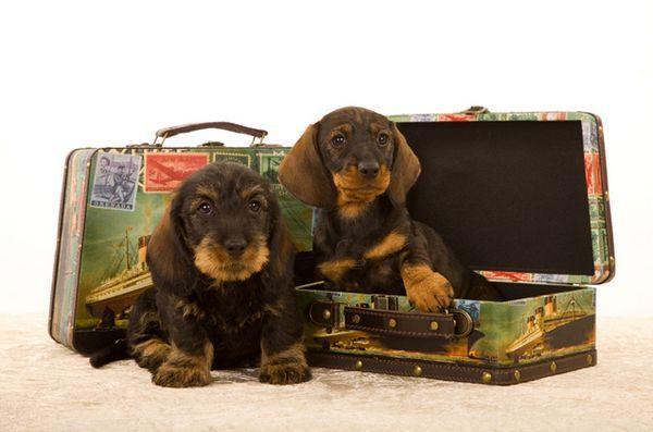 Un guide de jet setters pour l`assurance de voyage de chien