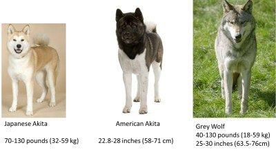 Akita vs loup