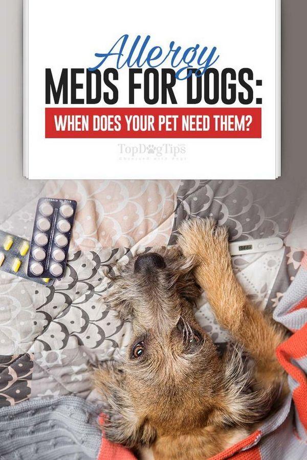 Les médicaments contre les allergies pour chiens: quand votre chien en a-t-il besoin?
