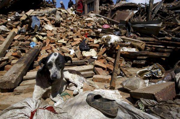 Les efforts de sauvetage des animaux sont en cours après le séisme au Népal