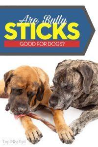 Les brutes sont-elles bonnes pour les chiens?