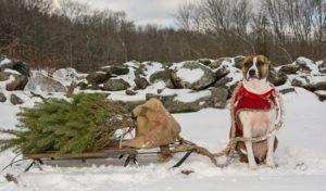 Les arbres de Noël sont-ils toxiques pour les chiens?