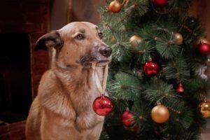 sont des arbres de Noël toxiques pour les chiens