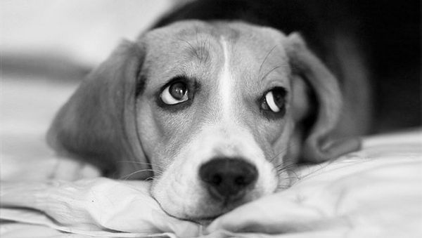 Anxiété de séparation Beagle