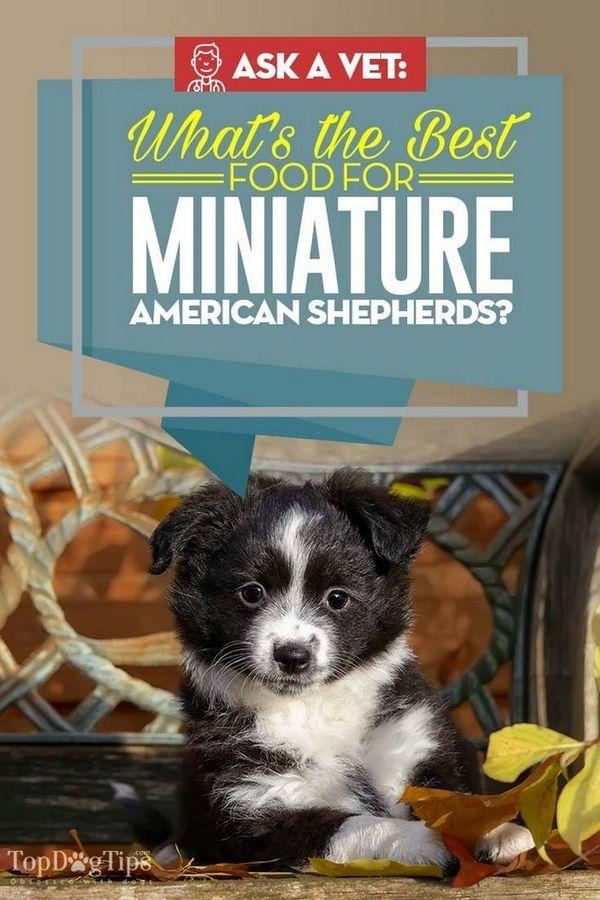Meilleur aliment pour chien miniature américain: 10 marques vétérinaires recommandées