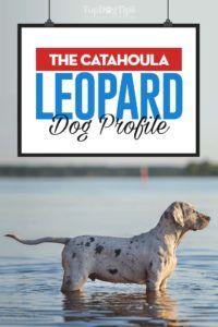 Profil de chien de léopard Catahoula