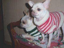 Chihuahua en pull
