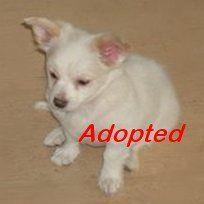 Chihuahua Puppy âgé de 10 semaines