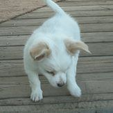 Cheveux Longs Chihuahua