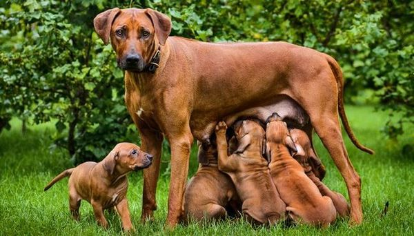 Combien de temps les chiens restent-ils enceintes