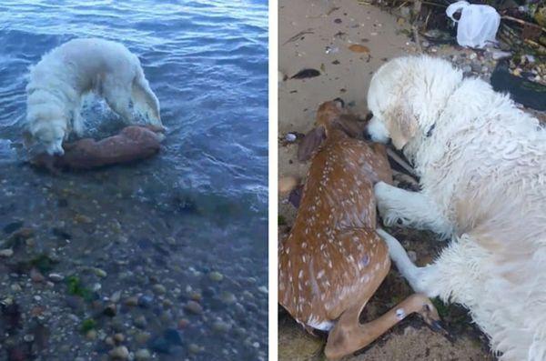 Un chien récupère un bébé cerf en train de se noyer et sauve la vie de faon [vidéo]