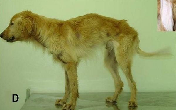 La dystrophie musculaire de Duchenne chez le chien peut enfin être traitée