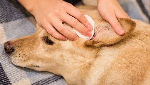 Traitements à la maison pour les mites d`oreille chez les chiens