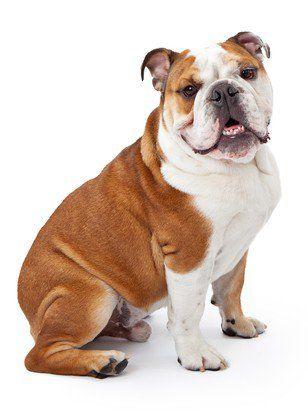 Profil de race bulldog anglaise