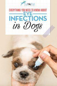 Infections oculaires chez le chien: diagnostic et traitement des problèmes oculaires chez le chien