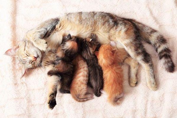 Grossesse féline: comment prendre soin d`une chatte enceinte