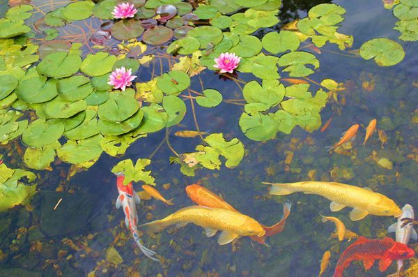 Les étangs à poissons vous permettent de prendre votre passe-temps à l`extérieur