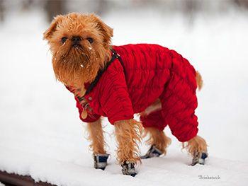 Chien en veste de neige et bottes