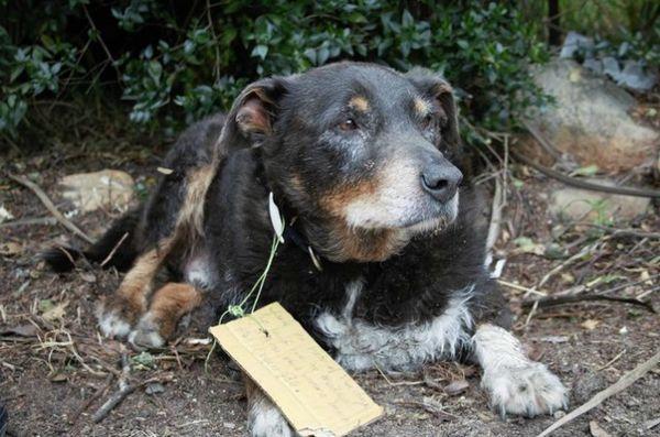 Héroïque chien âgé est allé en mission secrète pour sauver son voisin
