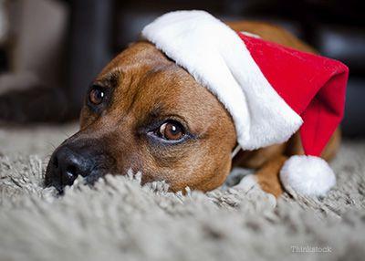Les dangers des animaux de compagnie: comment garder votre animal en sécurité cette année