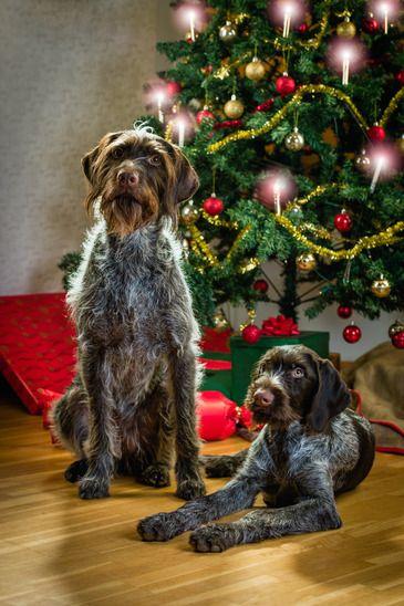 Chiens et Noël