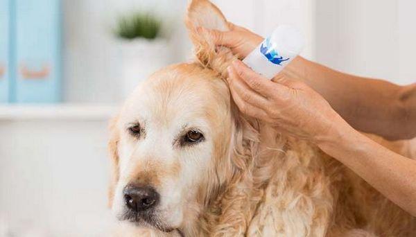 Nettoyant pour oreilles de chien fait maison pour animaux de compagnie