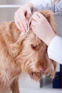 Comment nettoyer les oreilles de chien à la maison