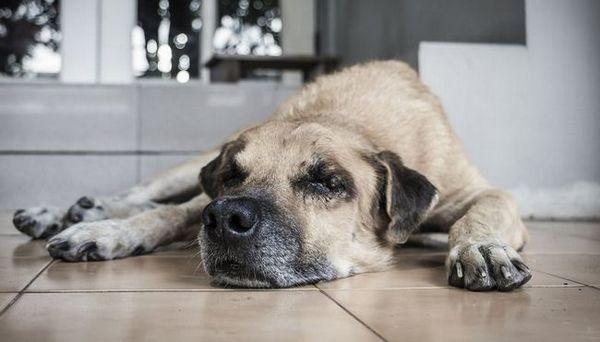 Comment reconnaître les dysfonctionnements cognitifs chez les chiens et ce que vous pouvez faire pour les aider