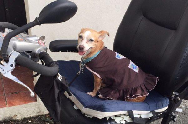 Le petit chien a eu un grand impact après l'ouragan Maria en sauvant la vie de son être humain