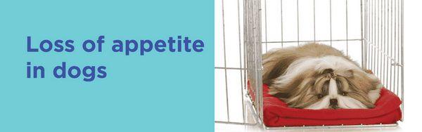 Perte d`appétit chez le chien - mon bébé est-il malade ou ne veut-il pas manger?