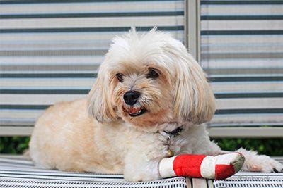Surveillance des pansements pour chiens à la maison