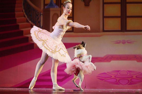 Les pirouettes de cochon princesse «Muttcracker» sur la scène de la charité