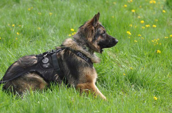 La nouvelle loi canadienne érige en infraction pénale le fait de nuire aux chiens d`assistance
