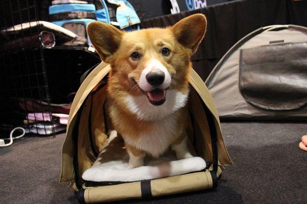 Le nouveau transporteur pour animaux domestiques est juste pour les corgis