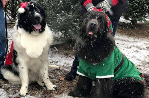 Newfies apporte l`esprit de Noël (et les arbres!) Dans la ferme de Pennsylvanie
