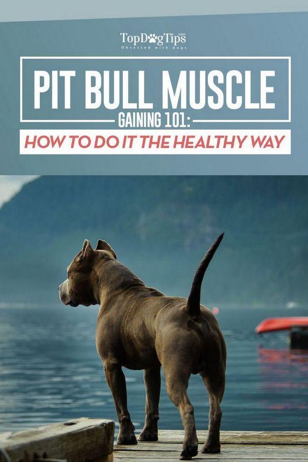 Le muscle pit-bull gagne 101: comment grossir un pit-bull sainement