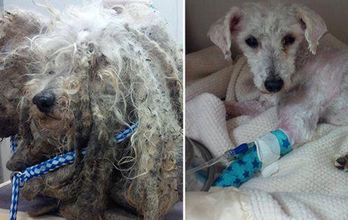 Sauver Shrek: chien maltraité donné une nouvelle vie