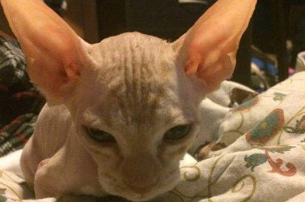 Scammer rase les chats normaux, soulève comme race rare sans poil